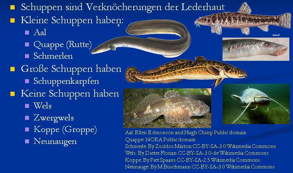 allgemeine fischkunde  zoologische einteilung